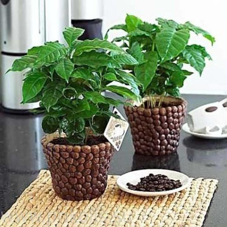 Набор для выращивания Кофе арабский карликовый